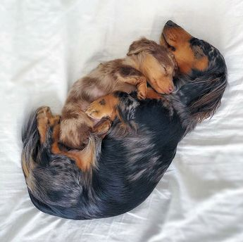 Dachshund Products, Apparel and Gifts
