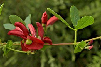 "Kennedia beckxiana, ""Cape Arid Climber"" Seedling rare Native plant"