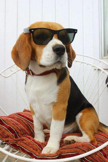 23 Disturbing Pictures of Beagles