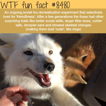 WTF Facts : funny, interesting & weird facts — Fox domestication experiment - WTF fun facts