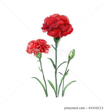 카네이션 꽃,일러스트, 플라워