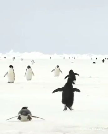 How cute is the penguin walk? Please follow Animals Board for more videos