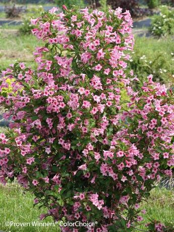 Weigela Sonic Bloom® Pure Pink ()