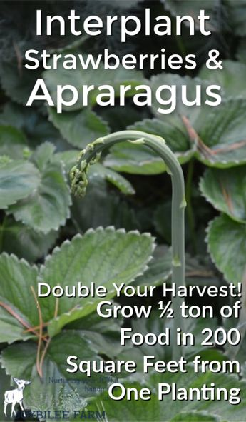 How to grow strawberries and asparagus the permaculture way
