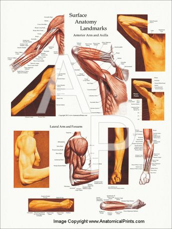 """Upper Body Surface Landmarks of the Muscles Posters 18"""" X 24"""""""