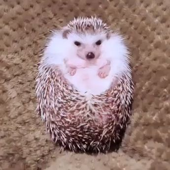 This hedgehog smells like food, and opens up like a flower #humor #cute #animals