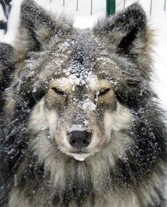 native american indian dog - Google Search