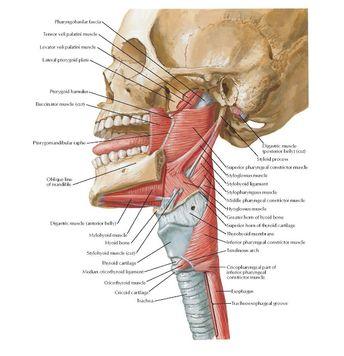 Muscles of Pharynx: Lateral View  Anatomy   Pharyngobasilar fascia , Tensor veli palatini muscle , Levator veli palatini muscle , Lateral...