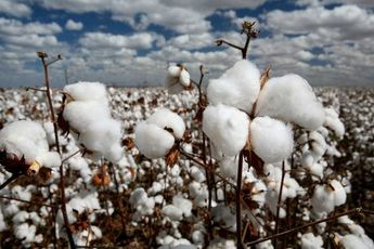 The Life Cycle of the Cotton Plant
