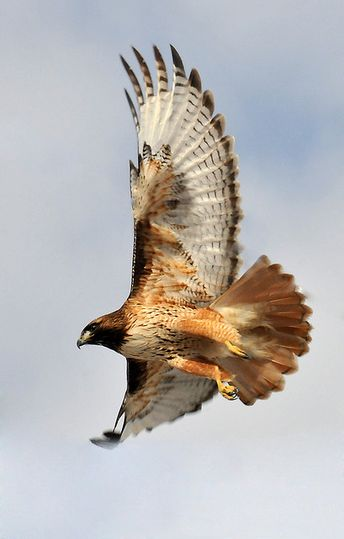 red tailed hawk pretty takes off