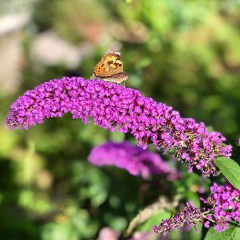 #sommerflieder #schmetterling #butterfly #schmetterlingsflieder #natur #garten #schmetterlinge #insekten #distelfalter #nature #sommer #garden #gartenliebe #naturfotografie #imgarten #naturephotography #buddleja #flieder #insekt #edelfalter #hobbyfotografie #insektenfotografie #buddlejadavidii #flowers #insects #meingarten #summer #Sommerflieder #blumen #buddleia