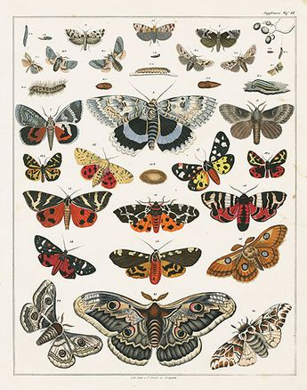 Butterflies, moths. Oken Natural History Butterfly & Insect Prints