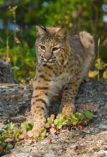 ☀Bobcat [Lynx rufus fasciatus (Rafinesque) ] By: Walter Nussbaumer