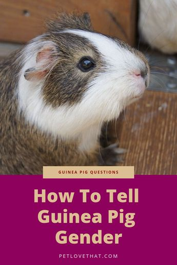 As the guinea pigs are small animals, it is hard to differentiate whether they are male or female. But to take proper care of your pet, you should know its gender. And we bet, most of the people don't really know how to tell a guinea pig gender. But don't worry; we are here to help you. If you can't determine the sex of your guinea pigs, then you can try out a few sophisticated and straightforward tricks to identify them.