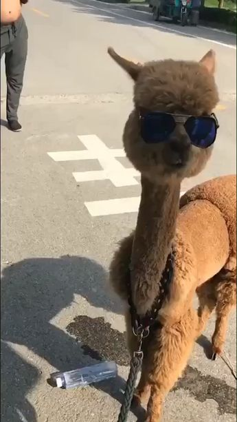 That's one snazzy alpaca! (It is an alpaca because it has banana shaped ears and llamas have cat-like ears)
