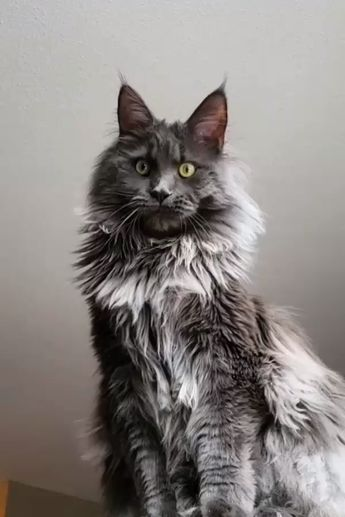 Fluffy Maine Coon Cat #mainecoon #cats #pets #catfacts