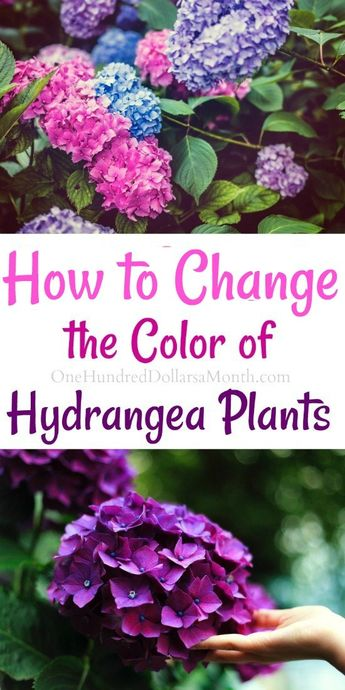 How to Change the Color of Your Hydrangea Plants