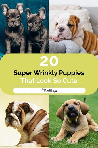 20 Super Wrinkly Puppies Who Prove That Rolls Can Be Cute: Some dog breeds, such as shar-peis and bulldogs, are always wrinkly. But they're extra wrinkly as puppies, and therefore extra cute.