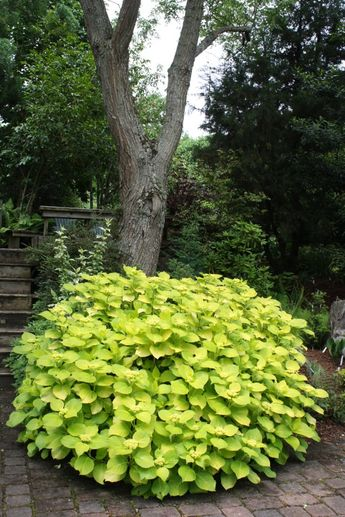 Hydrangea 'Lemon Daddy', great foliage color, blossoms are white