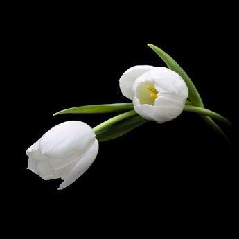 Tulips II by Mfotografie.deviantart.com on @DeviantArt