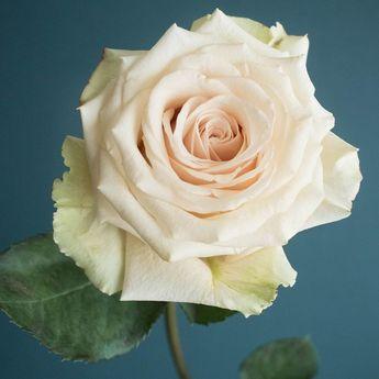Popular Champagne Rose Varieties: Quicksand, Sahara, Early Grey, Sahara Sensation, and Menta