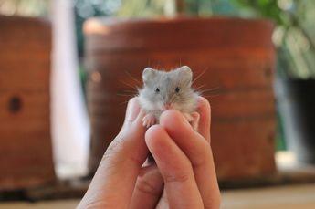 Bébé hamster campbell