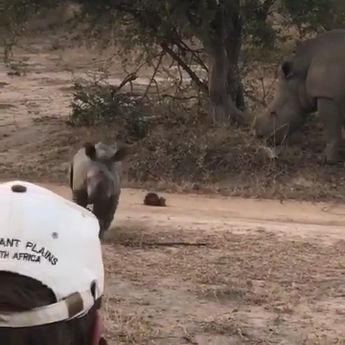 This intimidating lil rhino