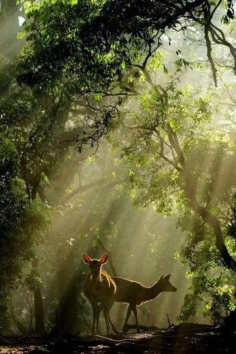 photographie couleur ❋ nature, biches cerfs en forêts bois (nature forest wood doe deers)