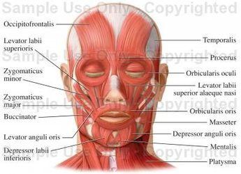Facial Muscles (Facial Muscles) - Medical Illustration, Human