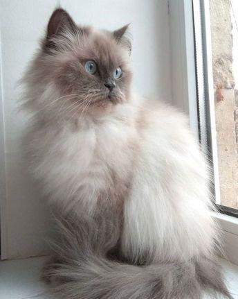 #catsbreedsabyssinian