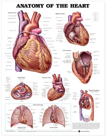 Anatomy of the Heart Chart / Poster - Laminated