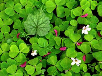 Download Blackberry Style Oxalis in Spring Screensaver