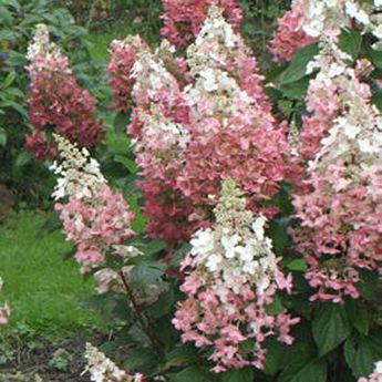 Pink Diamond Hydrangea | Blooms white and turns pink in fall | Zone 3