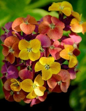Multi Colored Wallflower,also called. These are screaming Autumn to me with those colors.