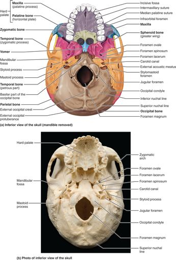 #physiology #consists #skeleton #cranial #anatomy #facial #axial #skull #bones #human #part #the #and #ofPART 1 THE AXIAL SKELETON - 7.1 The skull consists of 8 cranial bones and 14 facial bones: Human Anatomy and Physiology