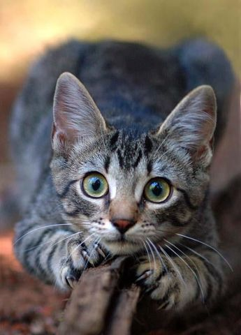 In most cases, clipping or capping are good choices for your cat's health, but this may not always be the case for anxious or sensitive cats.