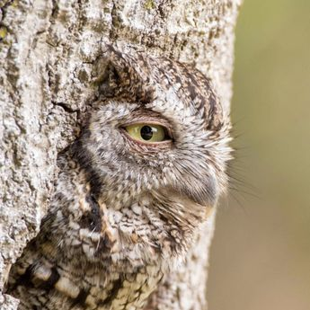 Beautiful owl with large green eye is camouflaged with tree. Audubon Photography Award Winner. (Eastern Screech-Owl).