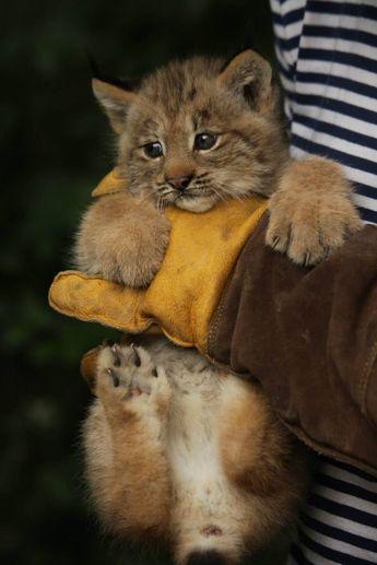 Canadian Lynx Triplets Get a Checkup at Zoo Brno