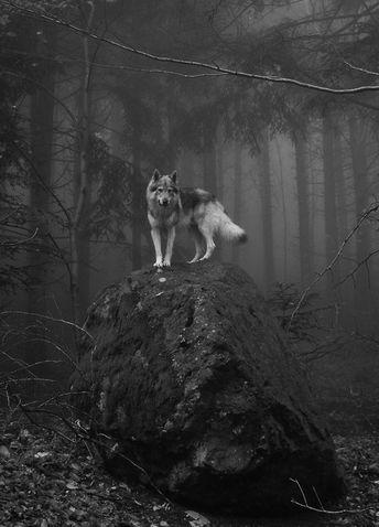 Картинка с тегом «wolf, animal, and forest»