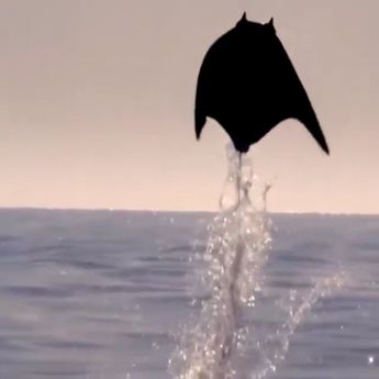 Flying Manta Rays ❤️😍
