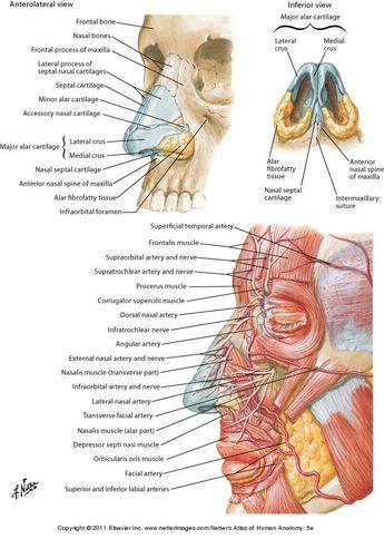 Arterial supply face