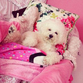 Bichon relaxing in bed