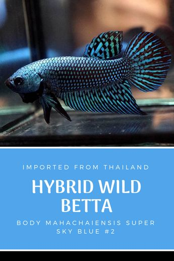 Big betta Female Plakat **5** Blue imported from the Domini