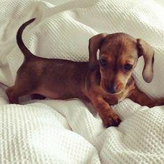 Dachshund Puppy Lov