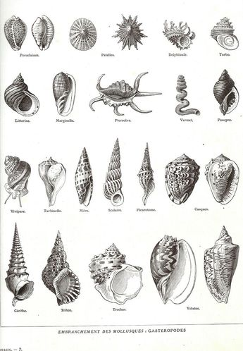 awesome 1923 Coquillages Encyclopédie Larousse planche illustrée originale Mollusques ...
