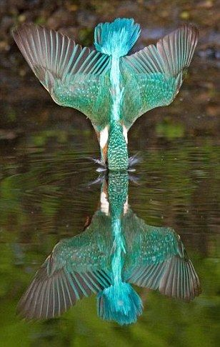 Mirror image: Kingfisher barely causes a ripple as he dives into the water