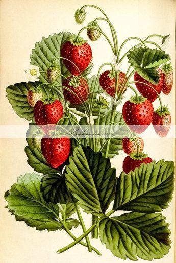 Antique Wild Strawberries Red Stawberry Plant Botanical Art Image - Digital Download Printable Image