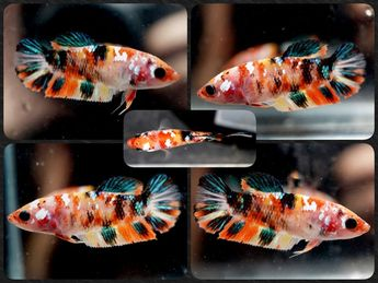 Live Betta Fish Koi Galaxy Betta (RIT-27)191