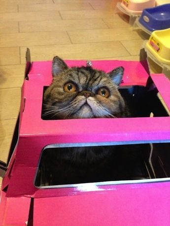 This cat who has seen the depths of the pink cardboard box.