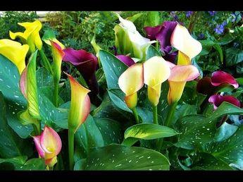 Cómo cultivar Cartuchos de Colores (Callas) - TvAgro por Juan Gonzalo Angel